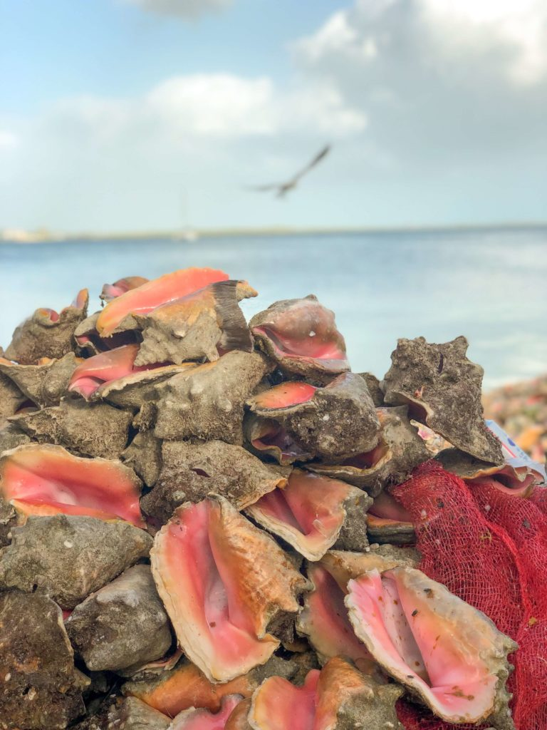 Conch shells in the Bahamas